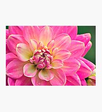 Beautiful Pink Dahlia Flower Photographic Print