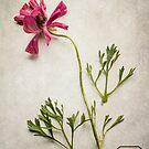 Ranunculus by Jill Ferry