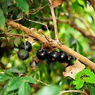 Jabotica Fruit Tree by Jason Pepe
