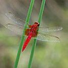The Red Baron by kibishipaul