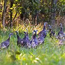 A Rafter Of Wild Turkeys    by NatureGreeting Cards ©ccwri