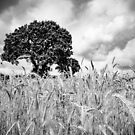 Norfolk field with one tree by Adam North