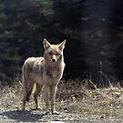 My Li'l Coyote Friend  (Sulphur Mountain, Banff, 1974) by Max Buchheit