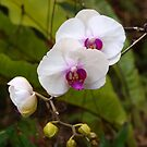 Orchid, Phalanopsis. by Virginia McGowan