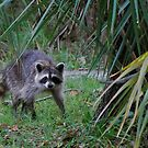 Raccoon in palmettos by Ben Waggoner