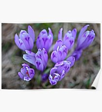 Crocus sativus .  Krowiarki pass . Gorce Mountains.Poland. 1348 views. Thank you so much !!!! by Brown Sugar ! Poster