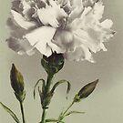 Vintage weiße Gartennelke von chalicevvinter