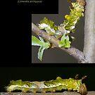 Viceroy Butterfly Caterpillar by DigitallyStill
