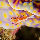 Emperor Shrimp - Zenopontonia rex by Andrew Trevor-Jones