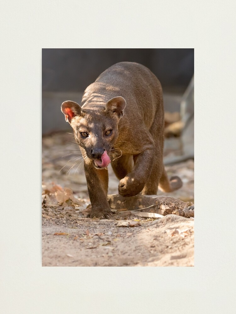 Alternate view of Prowling fosa Photographic Print