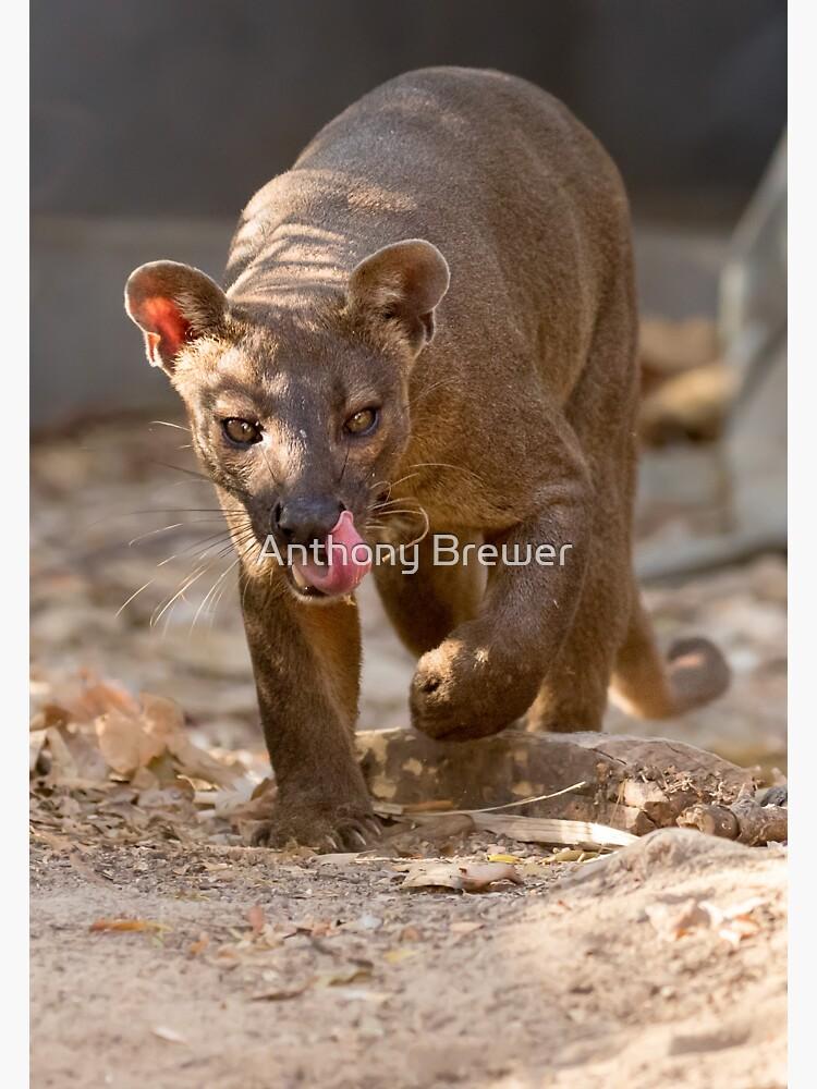 Prowling fosa by dailyanimals