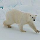 Polar Bear Prowl by MicrocosmFilm