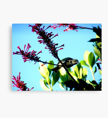 Brown Honeyeater Canvas Print