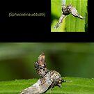 The Abbott's Sphinx Moth by DigitallyStill