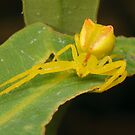 Crab spider - Sidymella sp. by Andrew Trevor-Jones