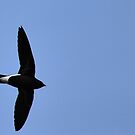 Purple Needletail by ralph arce