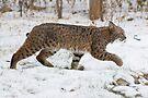 Bobcat in snow by Eivor Kuchta