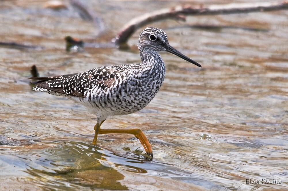 Greater Yellowlegs by Eivor Kuchta