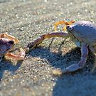 Mottled Purse Crabs by Dawne Dunton