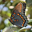 Red Spotted Purple Butterfly by Dawne Dunton