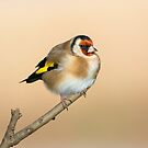 Goldfinch by M.S. Photography/Art