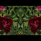 Red Red Roses by KazM