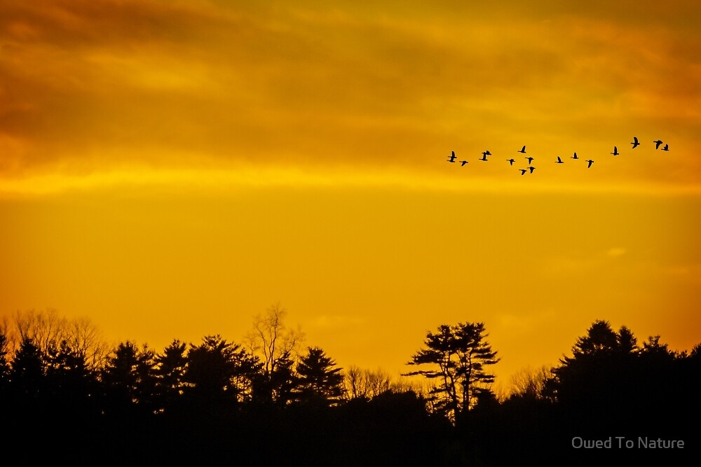 Day's flight of geese by Owed To Nature