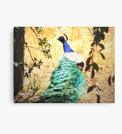 Farm Peacock  Canvas Print