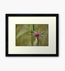 Dandelion in bloom Framed Print