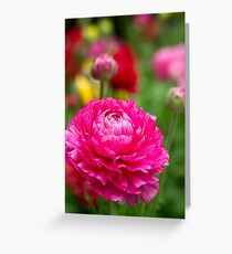 Ranunculus garden Greeting Card
