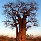 Moremi Baobab by Jennifer Sumpton