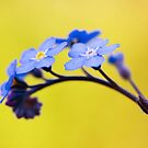 Forget me not flower on yellow background by seawhisper