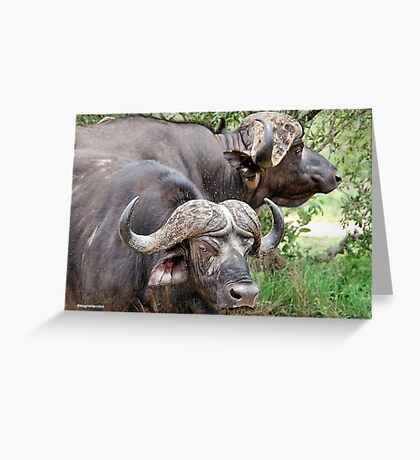 THE CAST- AWAYS - The Buffalo - Syncerus caffer  Greeting Card