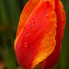 Rain Drop On Orange Tulip  by Tina Hailey