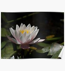 Pink and Yellow Water Lily Poster