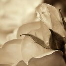 Romance in  sepia by Celeste Mookherjee