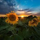 Sunstars and Sunflowers by Ryan Wright