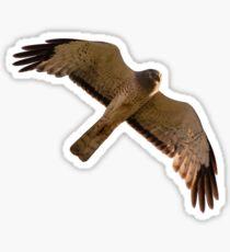 A Northern Harrier soars overhead Sticker