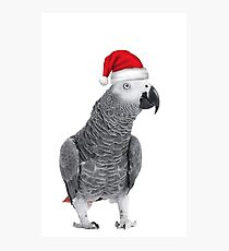 African Grey Parrot - Merry Christmas! Photographic Print