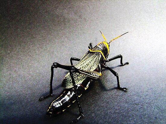 01 San Pedro Horse Lubber Grasshopper by ptosis