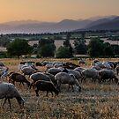 « Moutons d'Azerbaïdjan » par Jonathan B. Roy