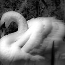 Portrait of a Swan by naturelover