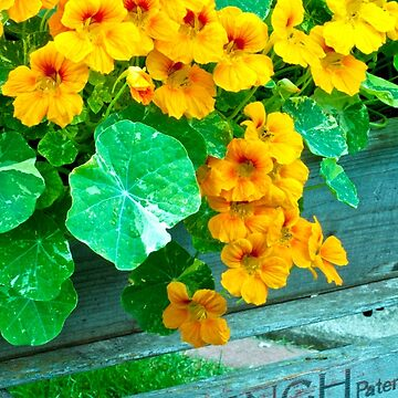 Tubbed Nasturtiums On Bench by SandraFoster