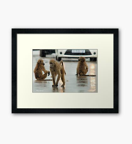 COME RAIN, COME SNOW, BABOONS ARE ALWAYS ON A SHOW! Framed Print