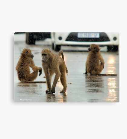 COME RAIN, COME SNOW, BABOONS ARE ALWAYS ON A SHOW! Canvas Print