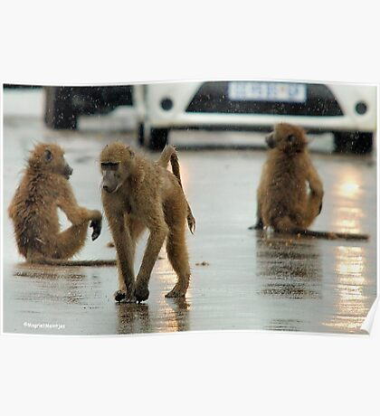 COME RAIN, COME SNOW, BABOONS ARE ALWAYS ON A SHOW! Poster