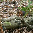 Red squirrel in the forest by LaHickmana