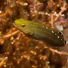 Rainford's Goby, Papua New Guinea by Erik Schlogl