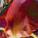 Red Iris by Anivad - Davina Nicholas