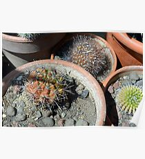 Cacti in flower pots Poster
